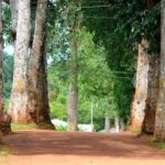 Mabaruma Residents Decry Cutting Down of Historic Rubber Trees